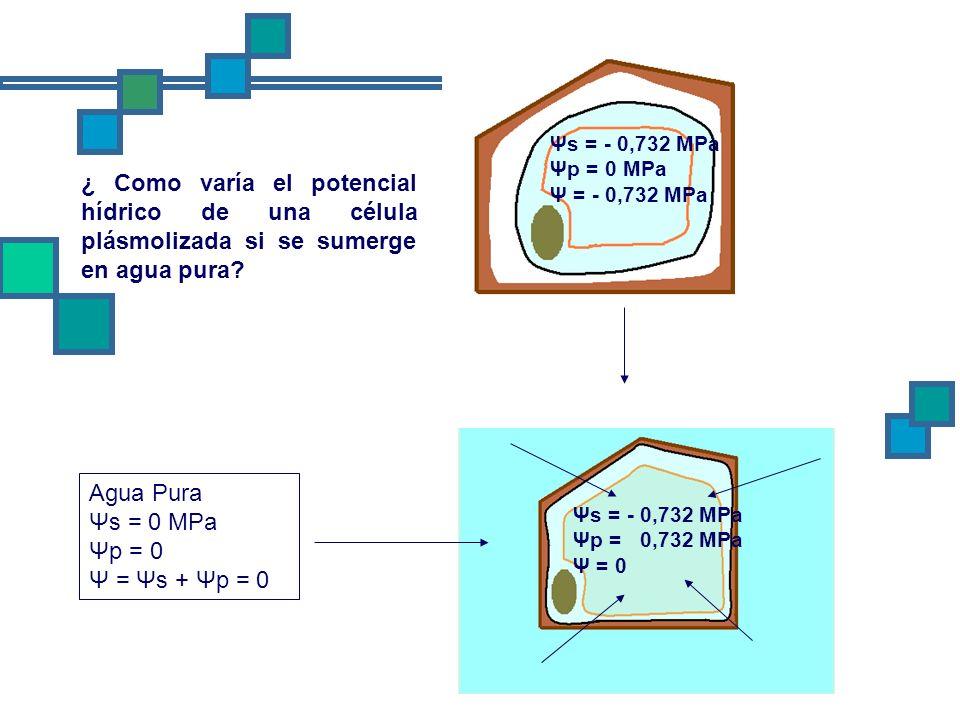 Ψs = - 0,732 MPa Ψp = 0 MPa. Ψ = - 0,732 MPa. ¿ Como varía el potencial hídrico de una célula plásmolizada si se sumerge en agua pura