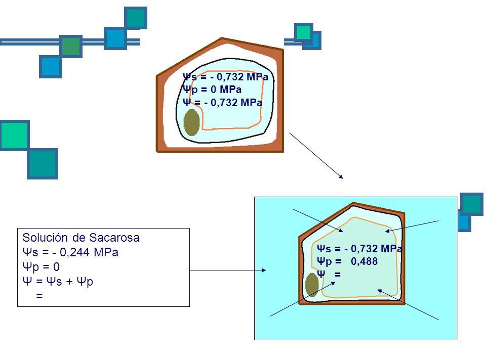 Solución de Sacarosa Ψs = - 0,244 MPa Ψp = 0 Ψ = Ψs + Ψp =