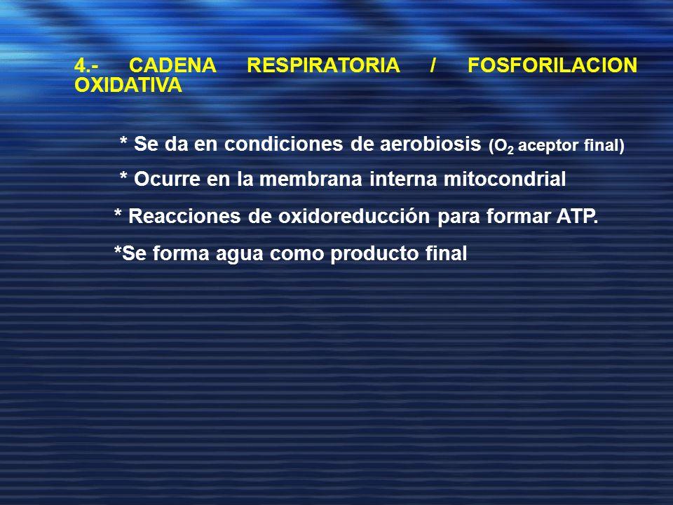 4.- CADENA RESPIRATORIA / FOSFORILACION OXIDATIVA