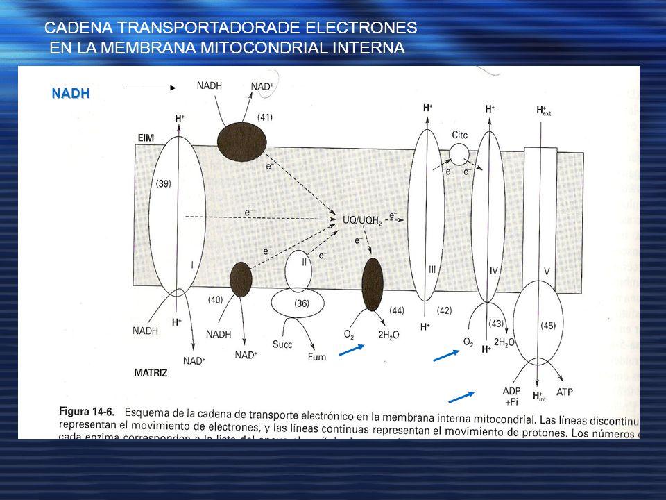 CADENA TRANSPORTADORADE ELECTRONES EN LA MEMBRANA MITOCONDRIAL INTERNA
