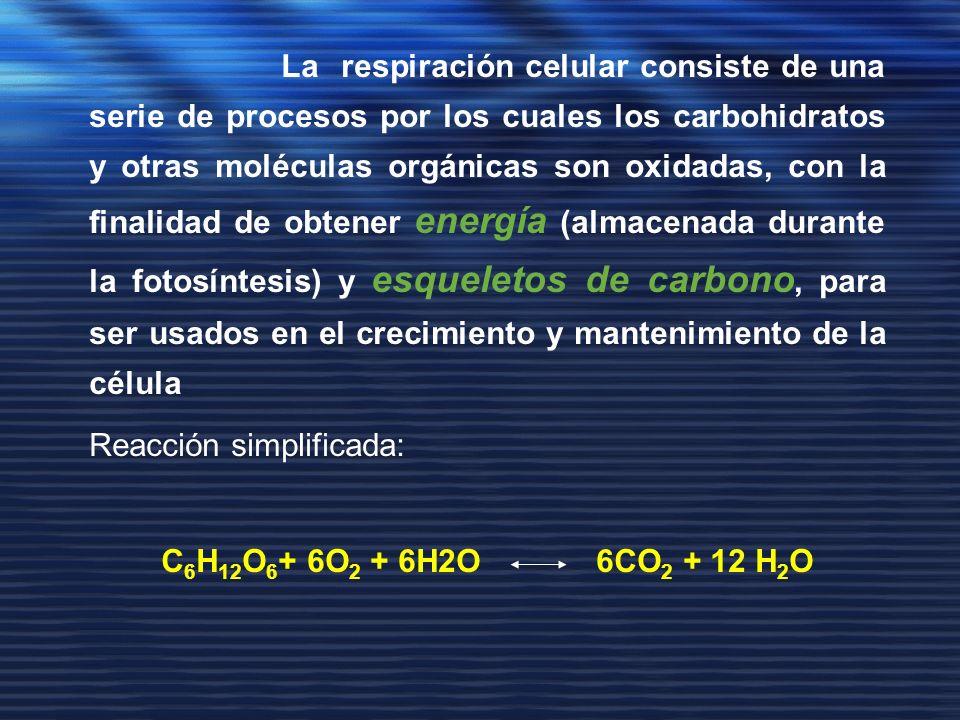 La respiración celular consiste de una serie de procesos por los cuales los carbohidratos y otras moléculas orgánicas son oxidadas, con la finalidad de obtener energía (almacenada durante la fotosíntesis) y esqueletos de carbono, para ser usados en el crecimiento y mantenimiento de la célula