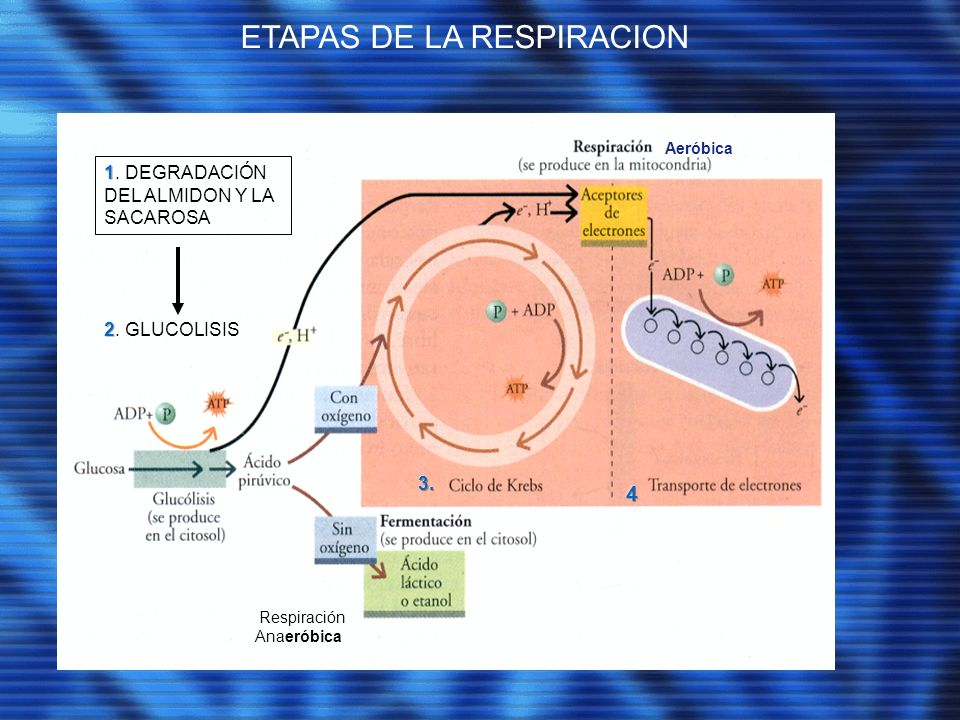ETAPAS DE LA RESPIRACION