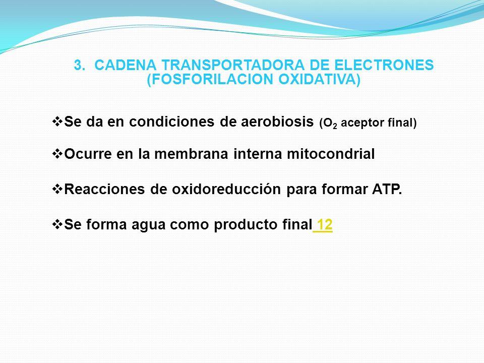 3. CADENA TRANSPORTADORA DE ELECTRONES (FOSFORILACION OXIDATIVA)