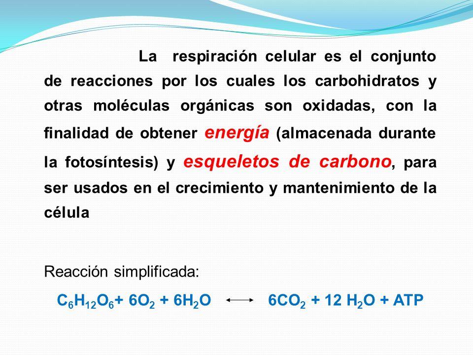 La respiración celular es el conjunto de reacciones por los cuales los carbohidratos y otras moléculas orgánicas son oxidadas, con la finalidad de obtener energía (almacenada durante la fotosíntesis) y esqueletos de carbono, para ser usados en el crecimiento y mantenimiento de la célula