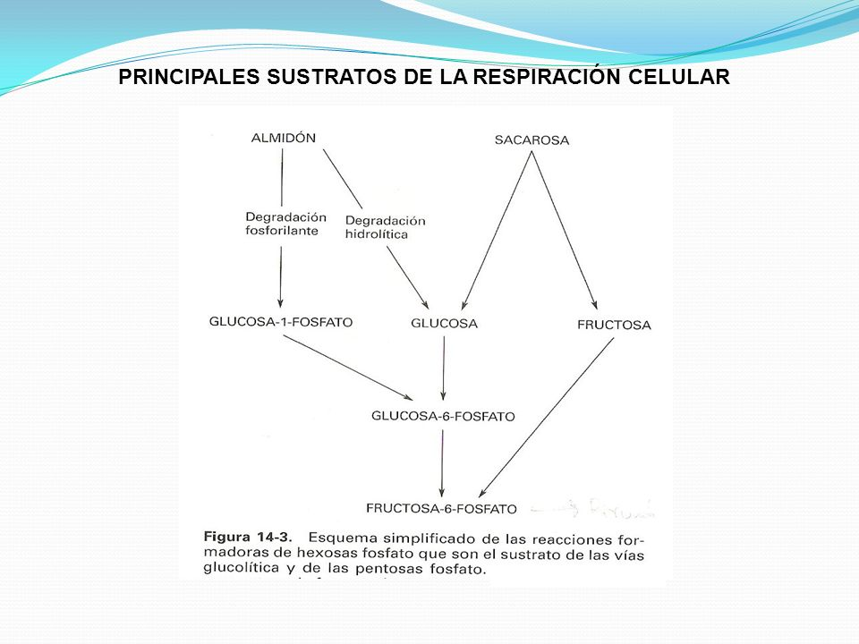 PRINCIPALES SUSTRATOS DE LA RESPIRACIÓN CELULAR