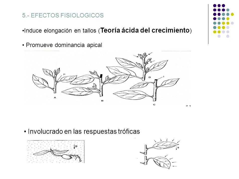 4.-Transporte: Polar (unidireccional, basipetamente) principalmente a través del tejido parénquimatico vascular