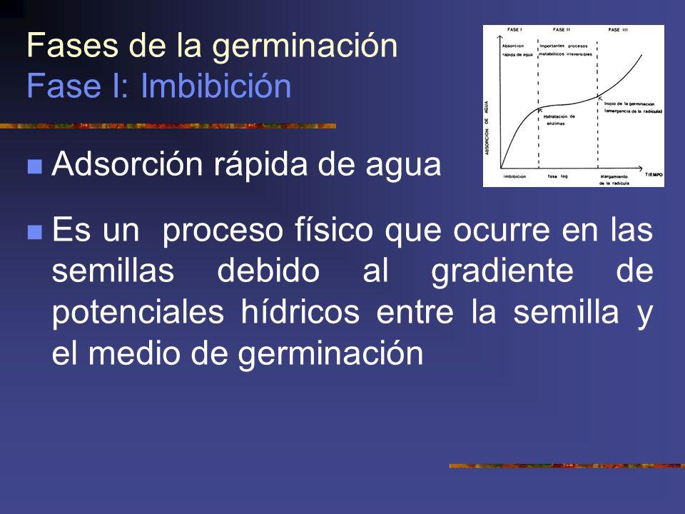 Fases de la germinación Fase I: Imbibición