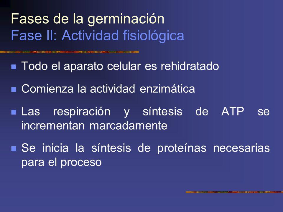 Fases de la germinación Fase II: Actividad fisiológica