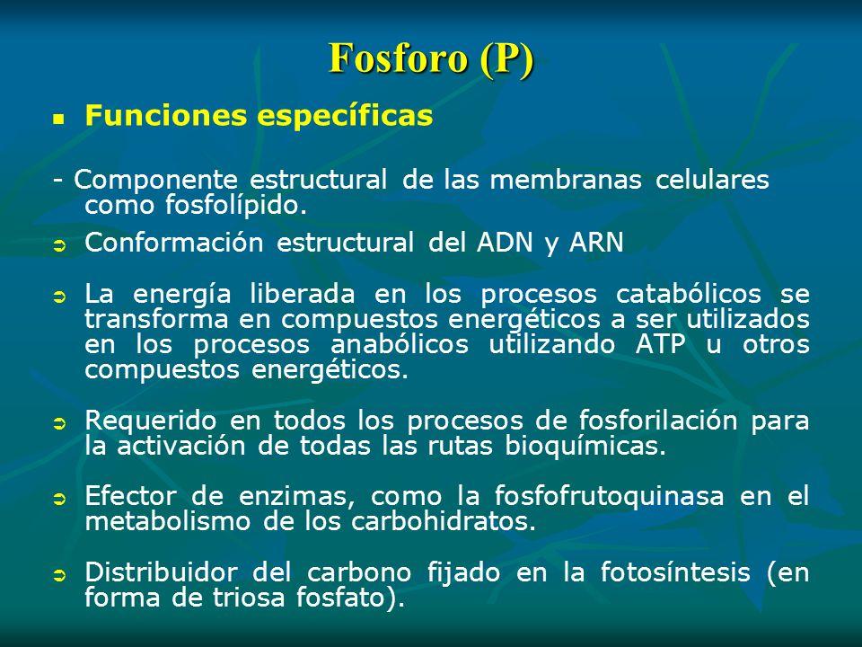 Fosforo (P) Funciones específicas