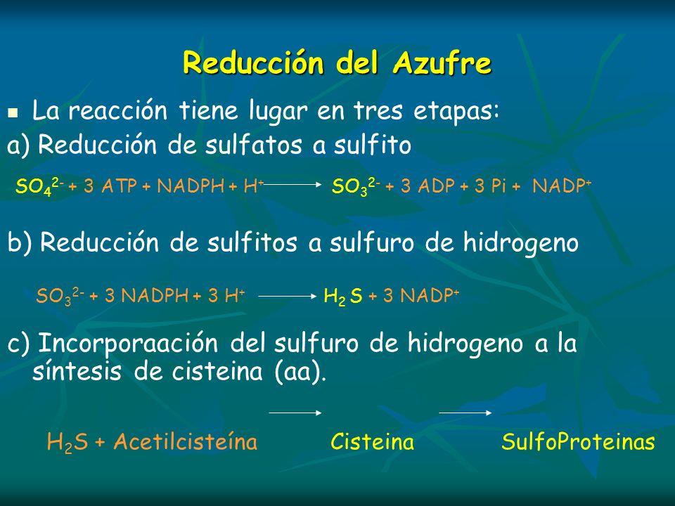 SO42- + 3 ATP + NADPH + H+ SO32- + 3 ADP + 3 Pi + NADP+