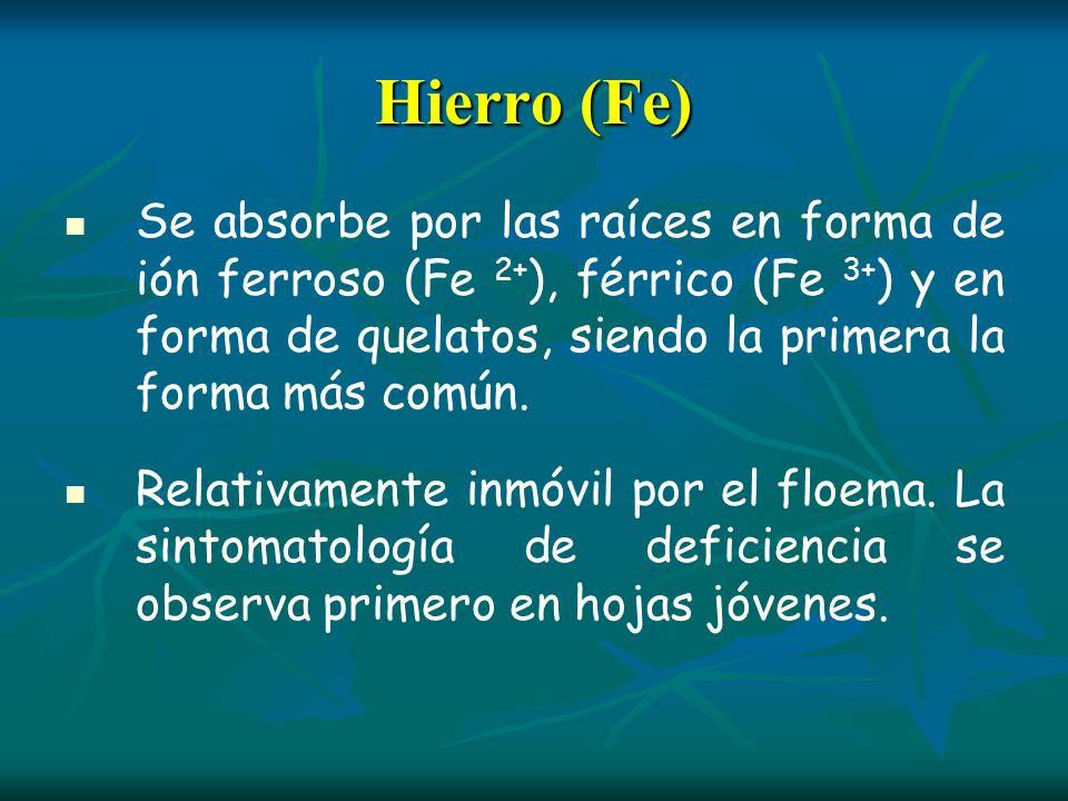 Hierro (Fe)Se absorbe por las raíces en forma de ión ferroso (Fe 2+), férrico (Fe 3+) y en forma de quelatos, siendo la primera la forma más común.