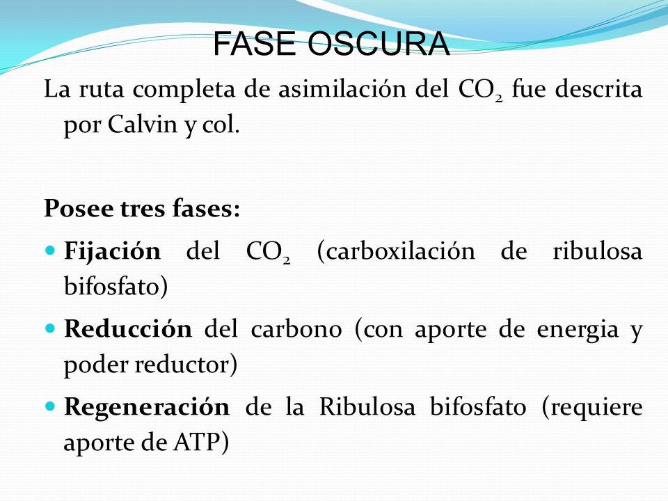 FASE OSCURA La ruta completa de asimilación del CO2 fue descrita por Calvin y col. Posee tres fases: