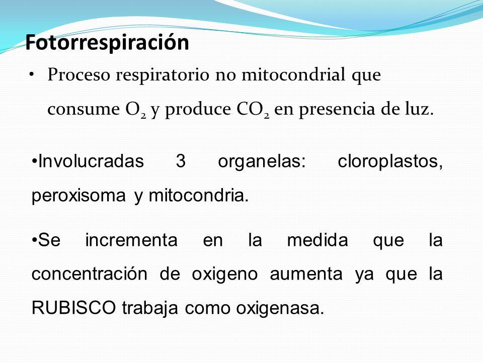 Fotorrespiración Proceso respiratorio no mitocondrial que consume O2 y produce CO2 en presencia de luz.