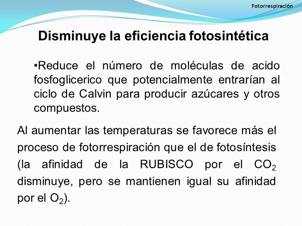 Disminuye la eficiencia fotosintética