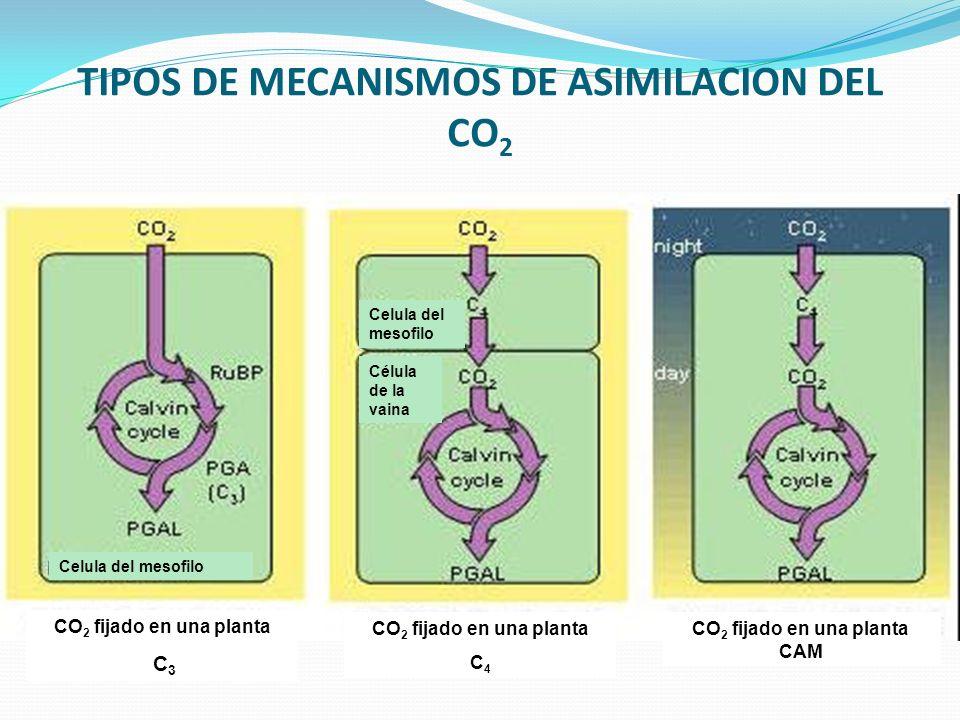 TIPOS DE MECANISMOS DE ASIMILACION DEL CO2