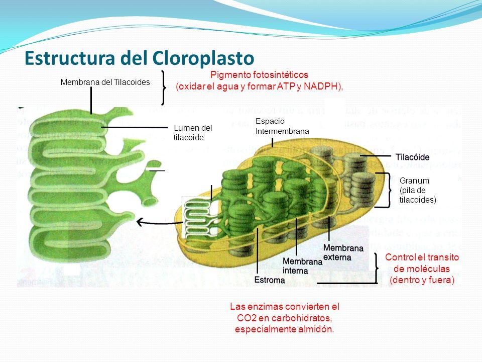 Estructura del Cloroplasto