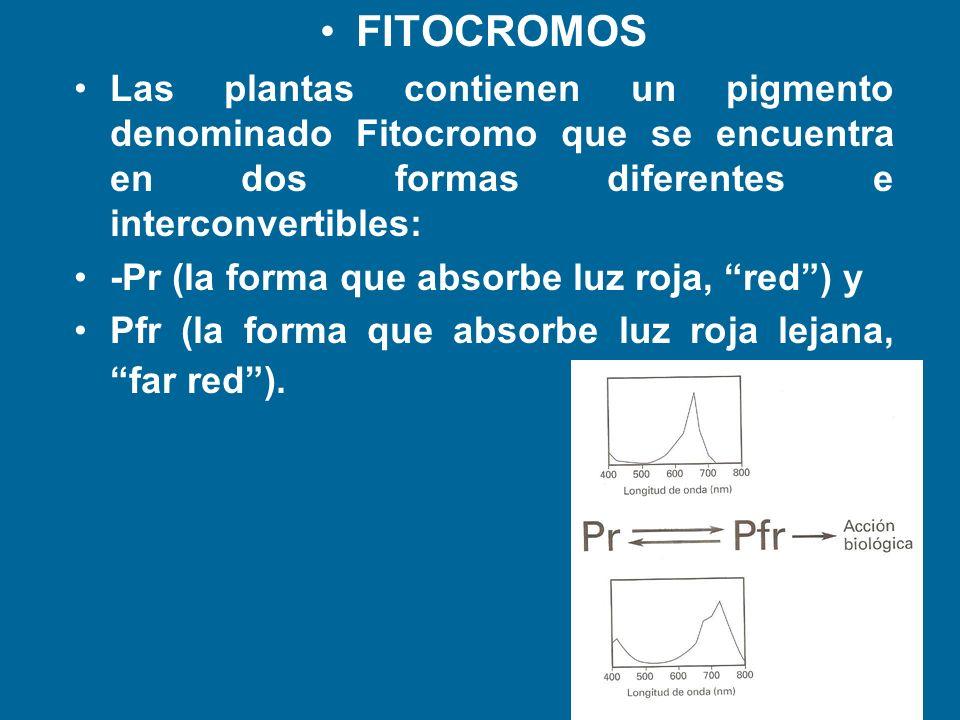FITOCROMOS Las plantas contienen un pigmento denominado Fitocromo que se encuentra en dos formas diferentes e interconvertibles: