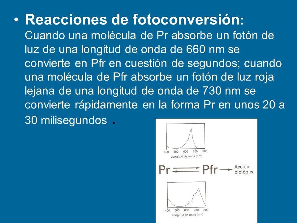 Reacciones de fotoconversión: Cuando una molécula de Pr absorbe un fotón de luz de una longitud de onda de 660 nm se convierte en Pfr en cuestión de segundos; cuando una molécula de Pfr absorbe un fotón de luz roja lejana de una longitud de onda de 730 nm se convierte rápidamente en la forma Pr en unos 20 a 30 milisegundos .