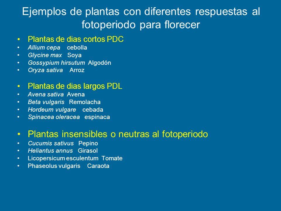 Ejemplos de plantas con diferentes respuestas al fotoperiodo para florecer