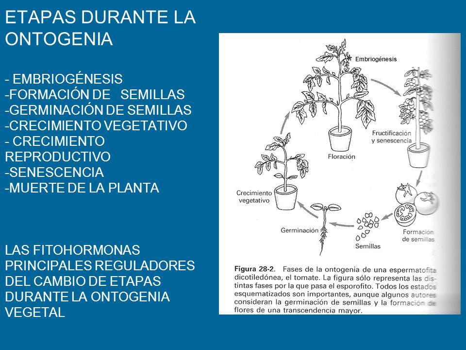 ETAPAS DURANTE LA ONTOGENIA - EMBRIOGÉNESIS -FORMACIÓN DE SEMILLAS -GERMINACIÓN DE SEMILLAS -CRECIMIENTO VEGETATIVO - CRECIMIENTO REPRODUCTIVO -SENESCENCIA -MUERTE DE LA PLANTA LAS FITOHORMONAS PRINCIPALES REGULADORES DEL CAMBIO DE ETAPAS DURANTE LA ONTOGENIA VEGETAL