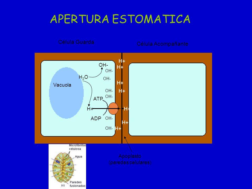 APERTURA ESTOMATICA Célula Guarda Célula Acompañante H+ OH- H+ H2O H+