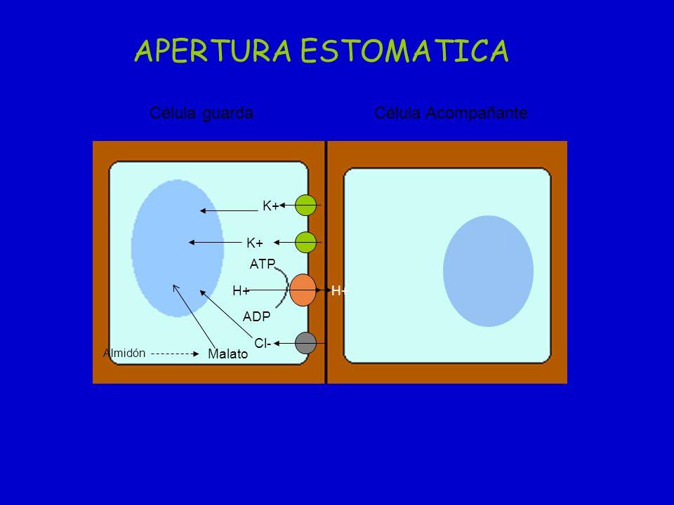 APERTURA ESTOMATICA Célula guarda Célula Acompañante K+ K+ ATP H+ H+