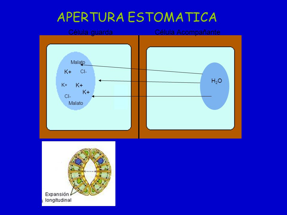 APERTURA ESTOMATICA Célula guarda Célula Acompañante K+ H2O K+ K+