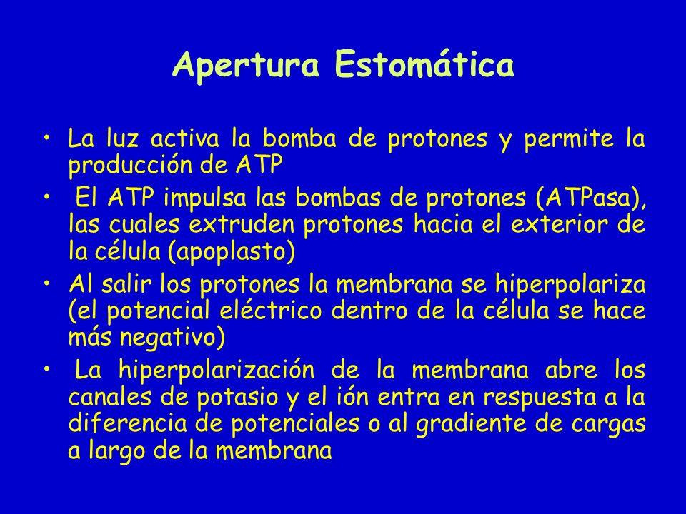 Apertura Estomática La luz activa la bomba de protones y permite la producción de ATP.