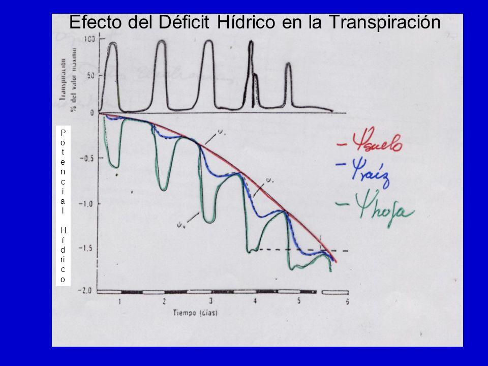 Efecto del Déficit Hídrico en la Transpiración