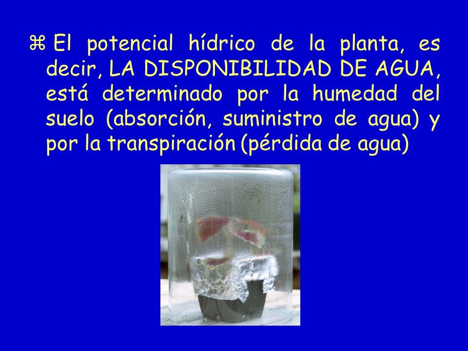 El potencial hídrico de la planta, es decir, LA DISPONIBILIDAD DE AGUA, está determinado por la humedad del suelo (absorción, suministro de agua) y por la transpiración (pérdida de agua)