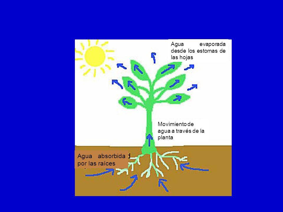 Agua absorbida por las raíces