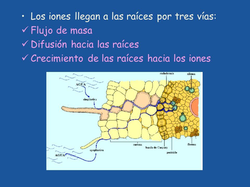 Los iones llegan a las raíces por tres vías: