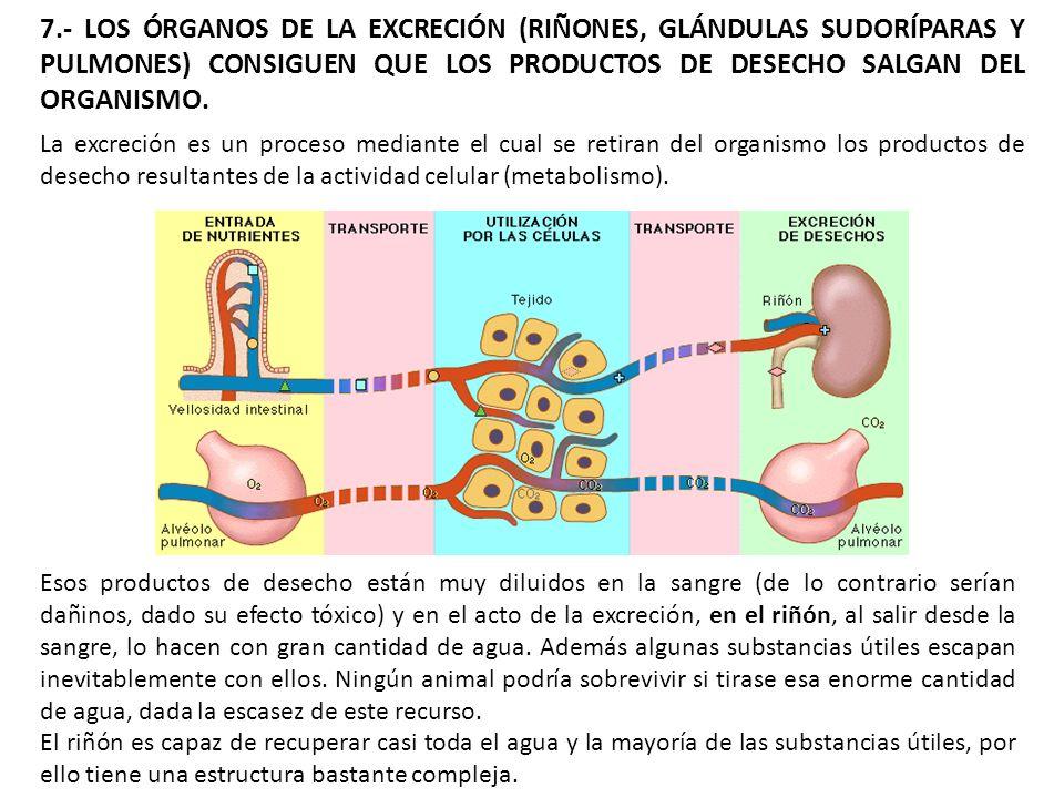 7.- LOS ÓRGANOS DE LA EXCRECIÓN (RIÑONES, GLÁNDULAS SUDORÍPARAS Y PULMONES) CONSIGUEN QUE LOS PRODUCTOS DE DESECHO SALGAN DEL ORGANISMO.