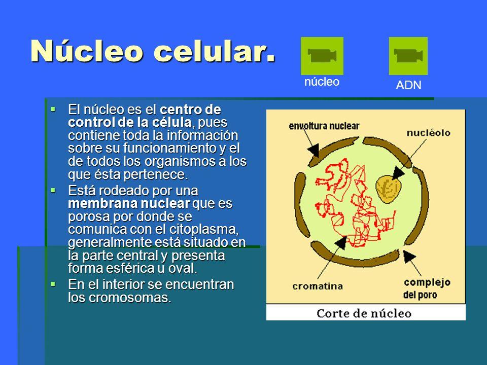 Núcleo celular.núcleo. ADN.