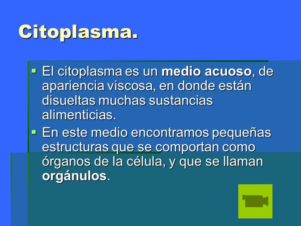 Citoplasma.El citoplasma es un medio acuoso, de apariencia viscosa, en donde están disueltas muchas sustancias alimenticias.
