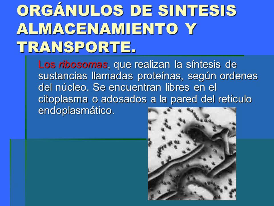 ORGÁNULOS DE SINTESIS ALMACENAMIENTO Y TRANSPORTE.