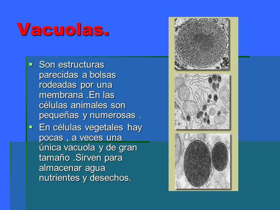 Vacuolas.Son estructuras parecidas a bolsas rodeadas por una membrana .En las células animales son pequeñas y numerosas .