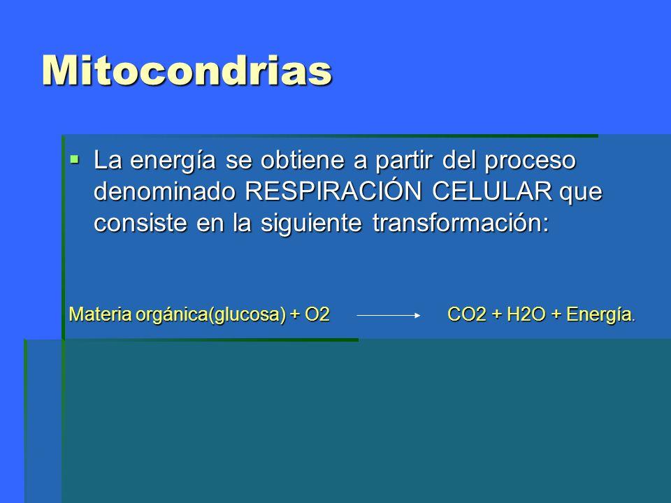 MitocondriasLa energía se obtiene a partir del proceso denominado RESPIRACIÓN CELULAR que consiste en la siguiente transformación: