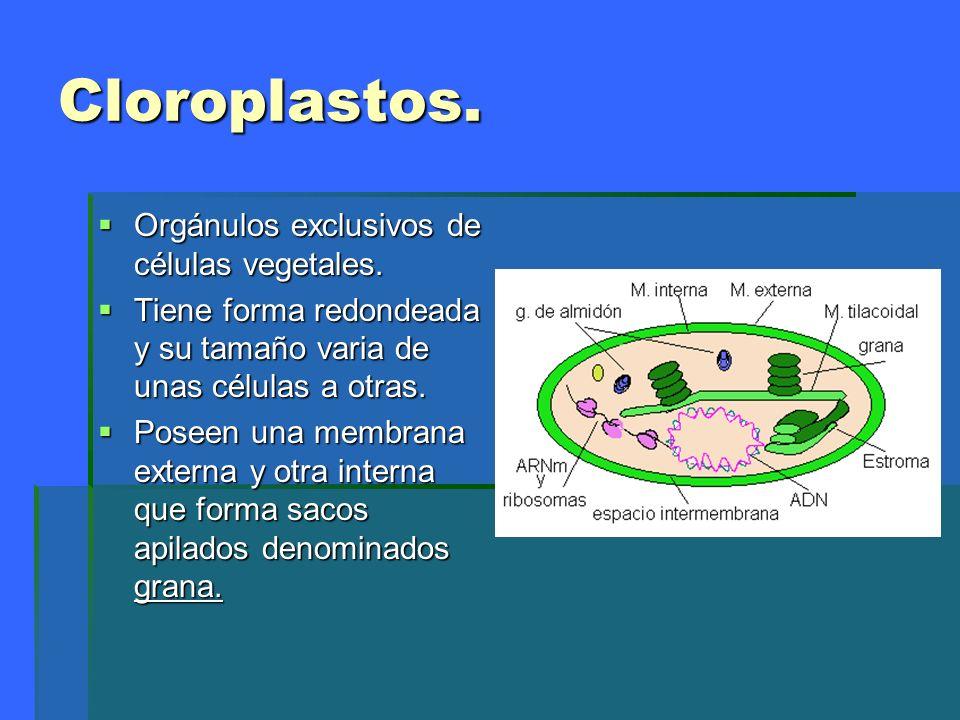 Cloroplastos. Orgánulos exclusivos de células vegetales.
