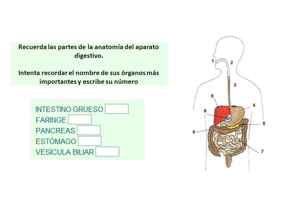 Recuerda las partes de la anatomía del aparato digestivo.
