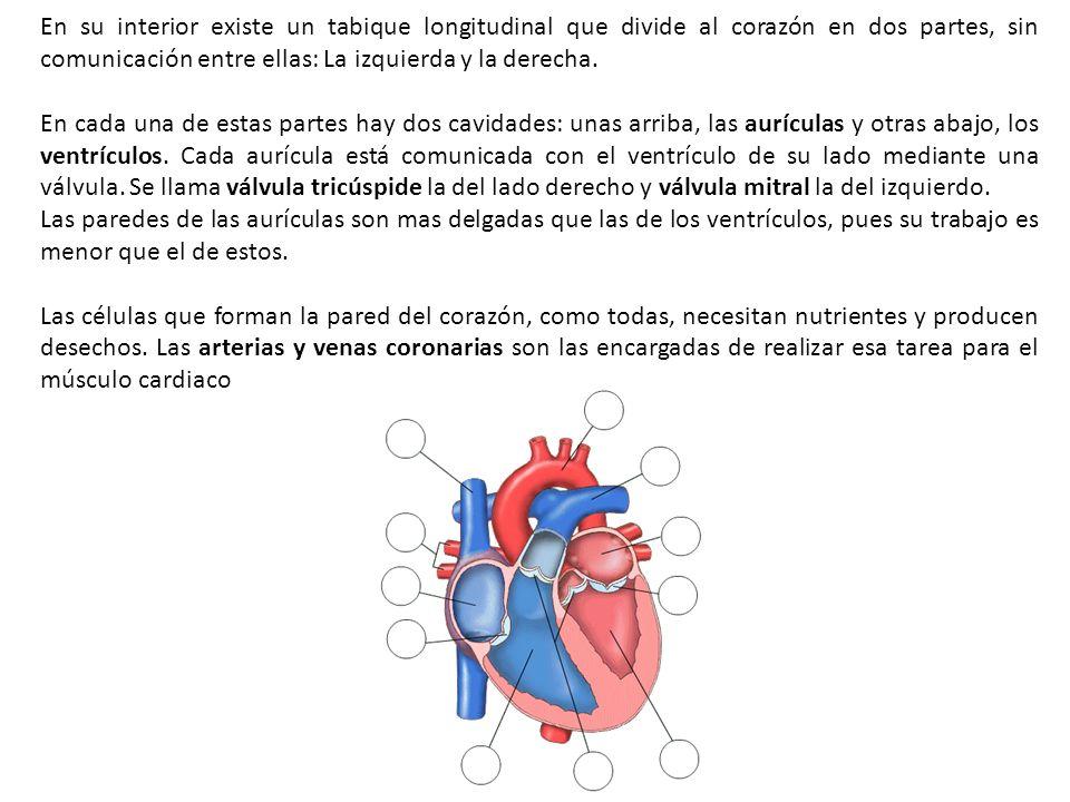 En su interior existe un tabique longitudinal que divide al corazón en dos partes, sin comunicación entre ellas: La izquierda y la derecha.