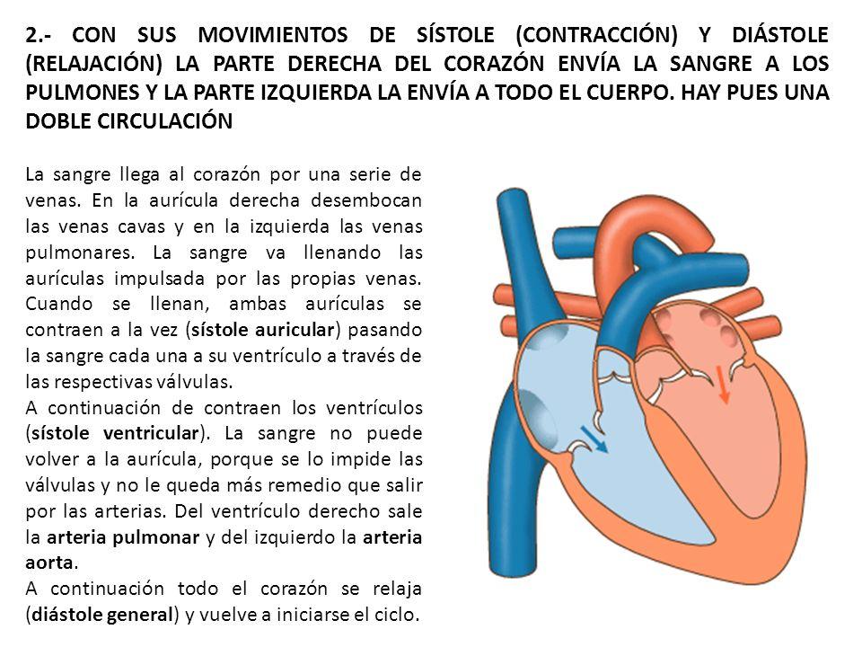 2.- CON SUS MOVIMIENTOS DE SÍSTOLE (CONTRACCIÓN) Y DIÁSTOLE (RELAJACIÓN) LA PARTE DERECHA DEL CORAZÓN ENVÍA LA SANGRE A LOS PULMONES Y LA PARTE IZQUIERDA LA ENVÍA A TODO EL CUERPO. HAY PUES UNA DOBLE CIRCULACIÓN