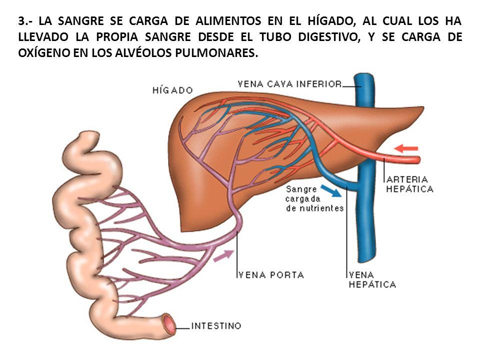 3.- LA SANGRE SE CARGA DE ALIMENTOS EN EL HÍGADO, AL CUAL LOS HA LLEVADO LA PROPIA SANGRE DESDE EL TUBO DIGESTIVO, Y SE CARGA DE OXÍGENO EN LOS ALVÉOLOS PULMONARES.