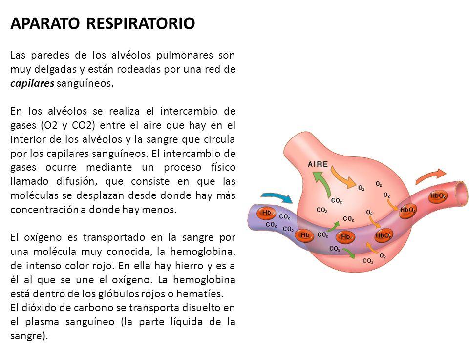 APARATO RESPIRATORIO Las paredes de los alvéolos pulmonares son muy delgadas y están rodeadas por una red de capilares sanguíneos.