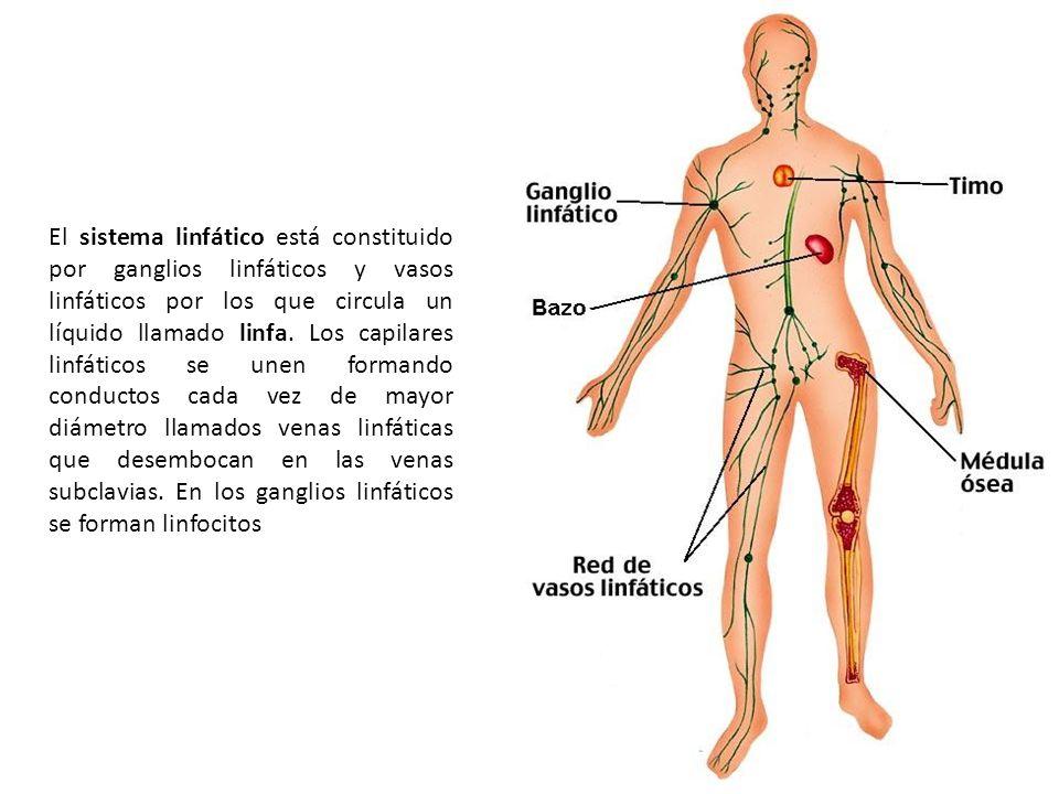 El sistema linfático está constituido por ganglios linfáticos y vasos linfáticos por los que circula un líquido llamado linfa.