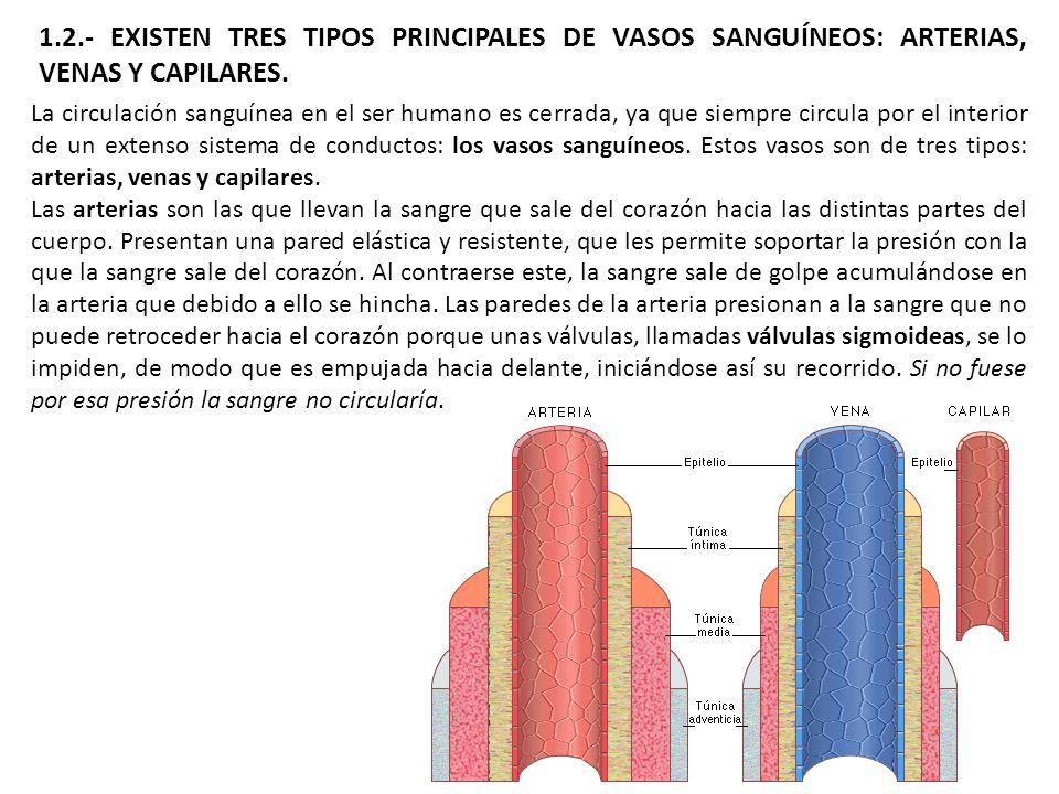 1.2.- EXISTEN TRES TIPOS PRINCIPALES DE VASOS SANGUÍNEOS: ARTERIAS, VENAS Y CAPILARES.