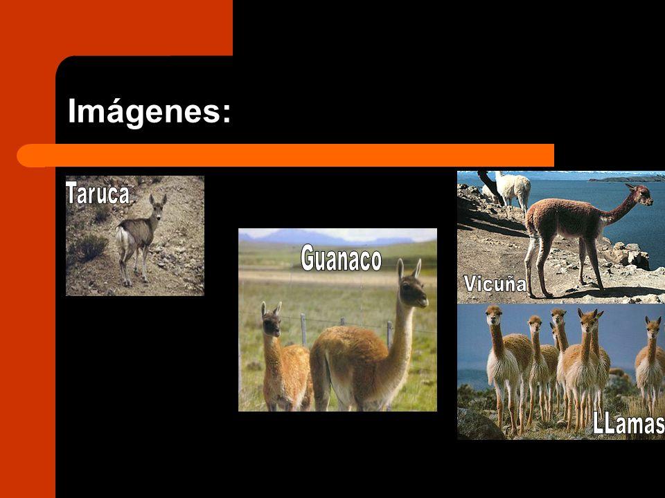 Imágenes: Taruca Guanaco Vicuña LLamas