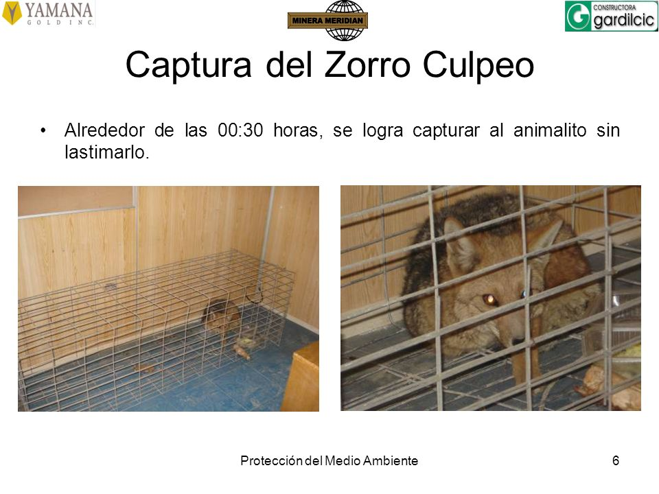 Captura del Zorro Culpeo