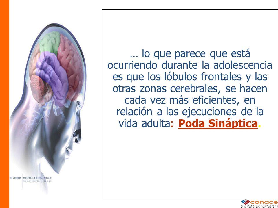 … lo que parece que está ocurriendo durante la adolescencia es que los lóbulos frontales y las otras zonas cerebrales, se hacen cada vez más eficientes, en relación a las ejecuciones de la vida adulta: Poda Sináptica.