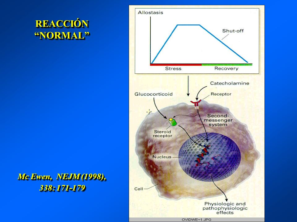 REACCIÓN NORMAL Mc Ewen, NEJM (1998), 338: 171-179